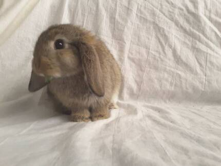Very Tame Baby Mini Lop Rabbit. Only Two Left.