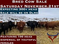 Bred Cow Sale this Saturday November 21st at 11am
