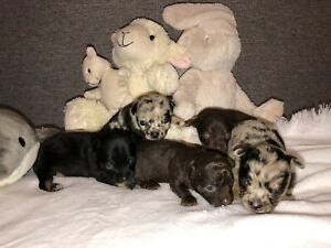 Beautifully Coloured Chihuahua Puppies