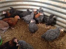 Plymouth Rock chickens Macclesfield Mount Barker Area Preview