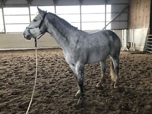 7 Year old Quarter Horse Gelding For Part board