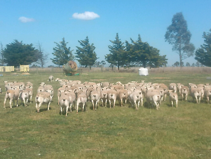 Young Ewe Lambs running with Rams for sale