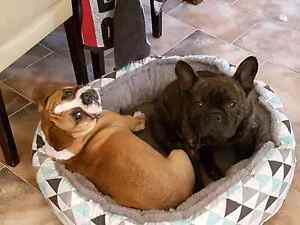 Wanted female french bulldog Rowville Knox Area Preview