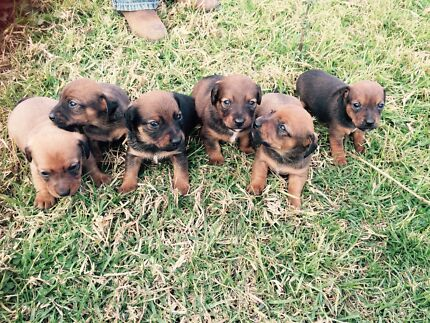 Mini Dachshund Jack Russell Cross Pups Nooroo Great Lakes Area Preview