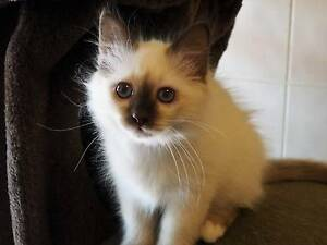 BIRMAN Chocolate Point ( Similar to Ragdoll ) Muckleford Mount Alexander Area Preview