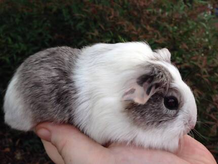 Three gorgeous baby male guinea pigs ready for new home