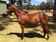 Thoroughbred/Connemara Filly Wooroloo Mundaring Area Preview