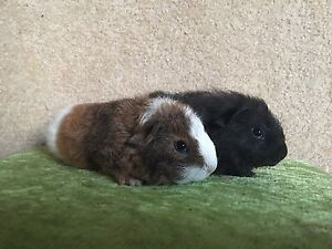 Purebred REX Female Guinea Pigs Pitt Town Hawkesbury Area Preview