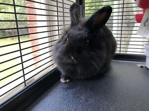 Rabbit male for FREE
