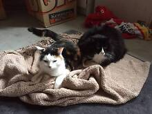 2 female adult cats free, tortoiseshell DSH and Black & white DLH North Ryde Ryde Area Preview