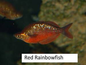 Red Rainbowfish (male I think) Tropical Aquarium Rainbow Fish Gawler East Gawler Area Preview
