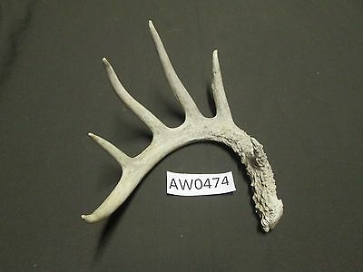 Whitetail Deer Antler Unique For Crafts And Arts Aw0470 Outdoor Sports Archery