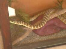 NT CARPET PYTHON & ENCLOSURE Tumbling Waters Litchfield Area Preview