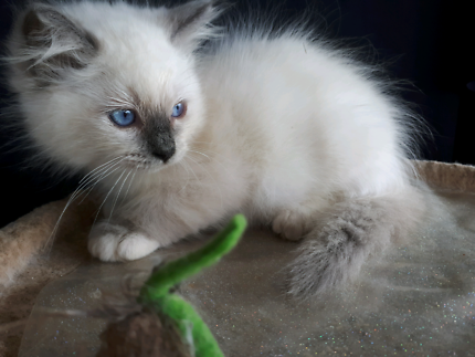 PEDIGREE RAGDOLL KITTENS FROM A REGISTERED BREEDER WITH ANCATS.
