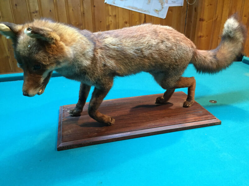 Nice Taxidermied Fox Hunting Collector Man Cave Decor Mount!!!