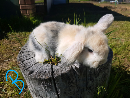 Georgeous Mini Lop Kits Does 3 Weeks Old Ready At 6 Weeks Rabbits