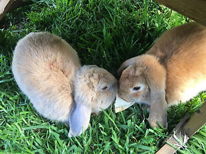 Male and female rabbits Bankstown Bankstown Area Preview
