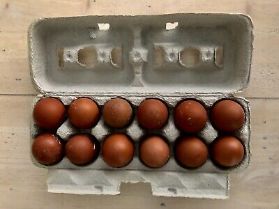 12 Blueblacksplash Copper Marans Hatching Eggs Greenfire Farmsbev Davis