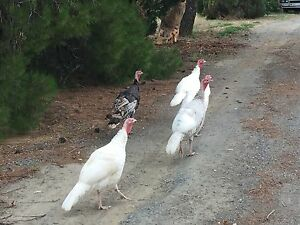Very Friendly White Turkeys Angle Vale Playford Area Preview