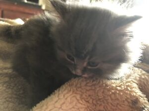 All kittens are SOLD SORRY!! ad up for parents to talk to us.