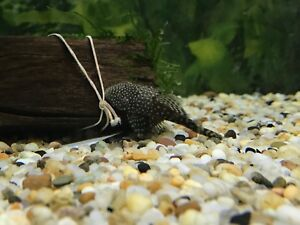 Bristlenose Catfish Bulleen Manningham Area Preview