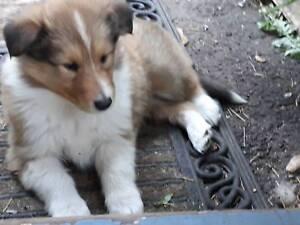 2 Rough Collie female  puppies
