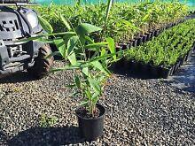 Cheap tiger grass/ bamboo alternative Eagleby Logan Area Preview