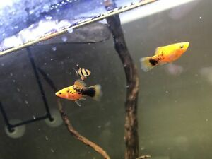 Free platy pair and one tiger barb