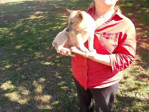 Red Cattle Dog Pups Crows Nest Toowoomba Surrounds Preview