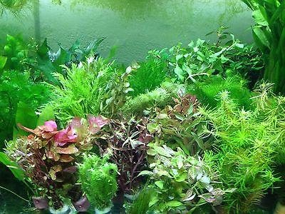 40 Aquariumpflanzen Wasserpflanzen Aquarium Bunter Mix gegen Algen (€0,25/Stk) (Fisch-aquarium Pflanzen)