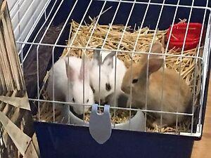 Rabbits, hutch, indoor cage & accessories Bacchus Marsh Moorabool Area Preview