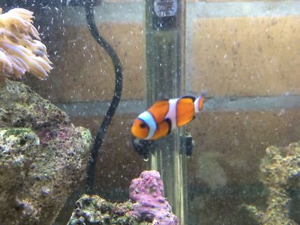 Marine fish and corals for sale EOI Wauchope Port Macquarie City Preview