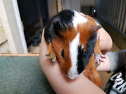 Guinea pigs  Banksia Grove Wanneroo Area Preview