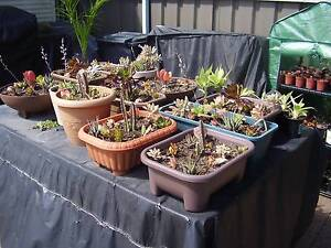 Potted Mixed Succulents Warners Bay Lake Macquarie Area Preview