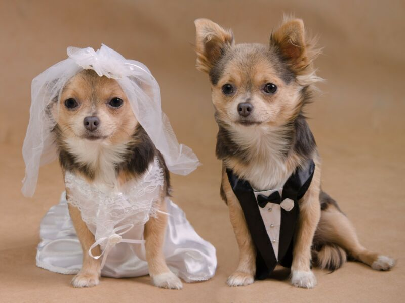 More and more dogs are tying the knot in lavish ceremonies