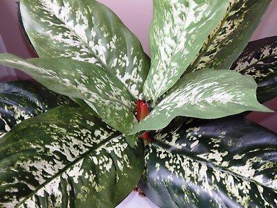 XXL Giant Leaf GREEN & WHITE PHILODENDRON Silk Aquarium PLANT, heavy stone base