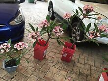 Pink & White, Yellow & White Frangipanis For Sale Applecross Melville Area Preview