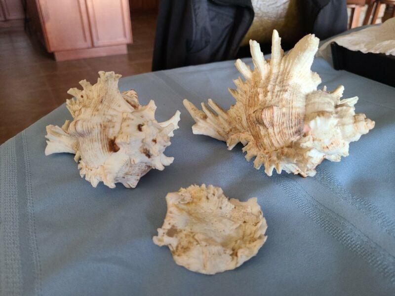 Murex Ramosus Sea Shells Lot Set Conch Spike Spine 140mm & 178mm White Ocean