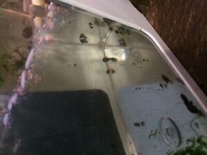Assorted aquarium snails for free