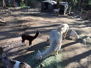 Cashmere. Two cute adult alpacas for sale. Cashmere Pine Rivers Area Preview