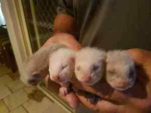 Baby Ferrets For Sale Macksville Nambucca Area Preview