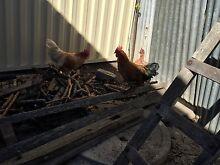 roosters up for sale now Hurstville Hurstville Area Preview