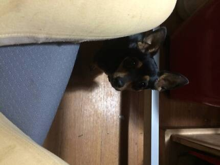 WANTED Male Short Hair Chihuahua Service Cowra Cowra Area Preview