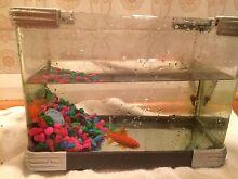 Goldfish plus tank Trevallyn West Tamar Preview