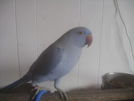 Handraised double factor cobalt violet indian ringneck Golden Beach Caloundra Area Preview