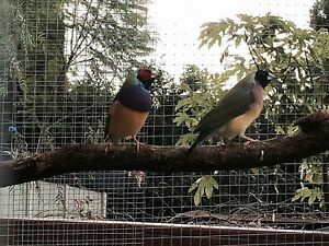 Finches for sale Dapto Wollongong Area Preview
