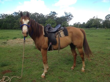 Quarter Horse Mare Kuttabul Mackay Surrounds Preview