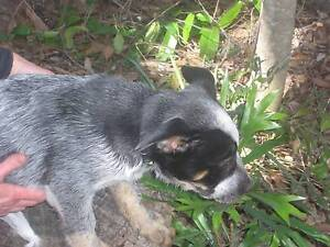 Blue Heeler Pups / Australian Cattle Dogs Burpengary Caboolture Area Preview