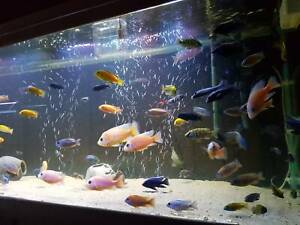 🐬 🐟 African Cichlids🐠 🦑                      MALAWI CICHLIDS WORLD Balgowlah Manly Area Preview