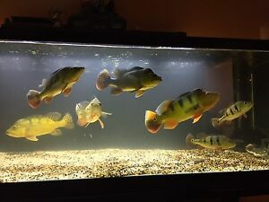 "Amazon Peacock Bass 9-16"" Pellet trained."